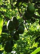 Thou shalt not covet thy neighbours avocados