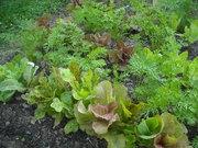 Lettuce & Carrots