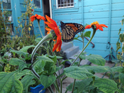 Monarch on Mexican Sunflowers