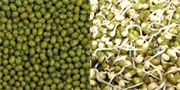 Mung Beans - sprouted Mung Beans