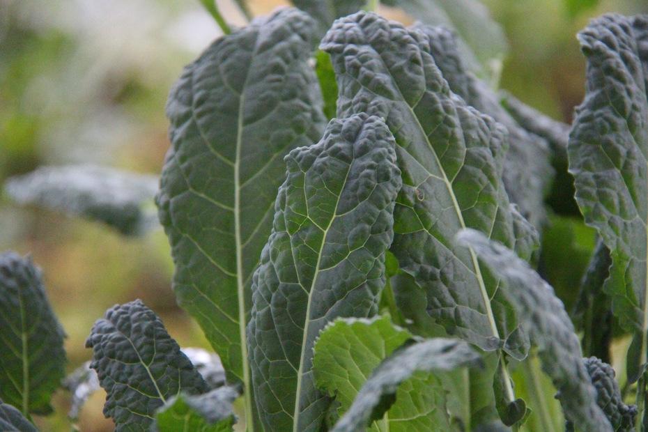 Italian lacinato kale