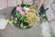 Coleus, Sedum and Lantana