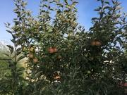 2016 Gravenstein Apple tree.