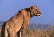 Lioness Masi Mara