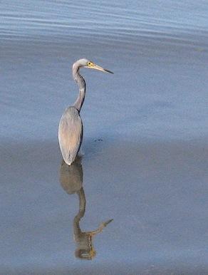 10 Heron, Clearwater Beach (PIR)