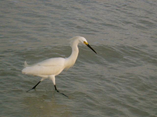 11 Egret on Clearwater Beach (PIR)