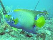 queen-angel-fish-pez-angel-reina-portobelo-colon-panama-diving-buceo