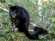 "Howler Monkeys at"" Casa Del Soul"""