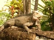 Iguana's 0 (7)