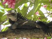 Iguana's 0 (3)
