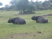 Two Male Buffaloes