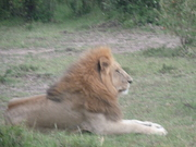 Males Lion - relaxing