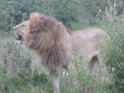 Males Lion