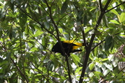 Yellow-Rumped Cacique - Chullachaqui Lodge