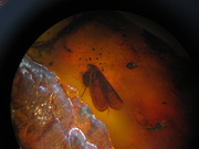 little prehistoric insect entrapped in amber