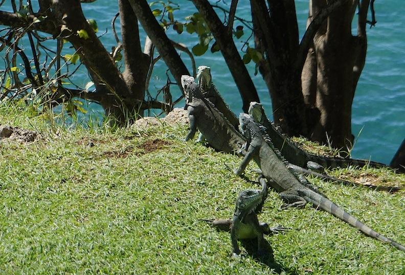 GuadeloupeGrandeTerreIguanas