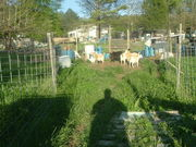 The Goat Maze....Home of the Amazing Goats.