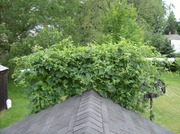hops  051