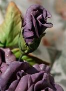Purple Rose Bud
