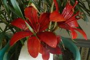 fire  reds lillies