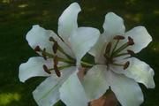 casa blanca lillies