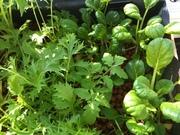 Healthy greens 2