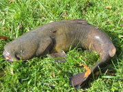 Mudcat / Flathead Catfish