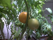 Ripe tomatoes in January