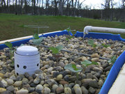 Barrel Aquaponics Spring 2011 - 3