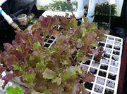 More Red lettuce seedlings