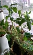 Cherry tomato vine