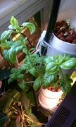 Basil Growth