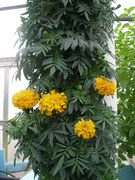 Marigolds in a ZipGrow Tower