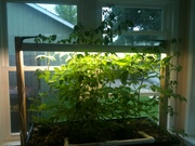 Patio AP tomatoes out of control!