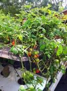 Tomatoes, tomatoes, more tomatoes!