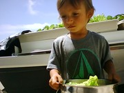 Makoa harvesting some lettuce from the fish garden