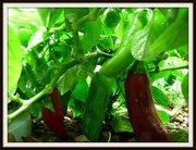 Aquaponic Peppers