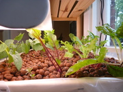 1 week later  . . . notice the growth of beans an greening of chard and basil.