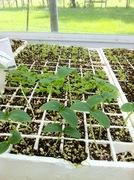 Cuke seedlings 8-14