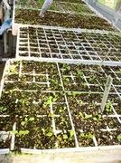 Lettuce etc 8-14