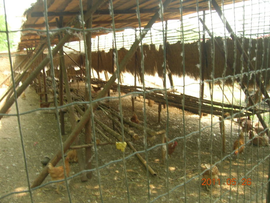 Little donkey chicken production