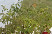 hoophouse plant pics