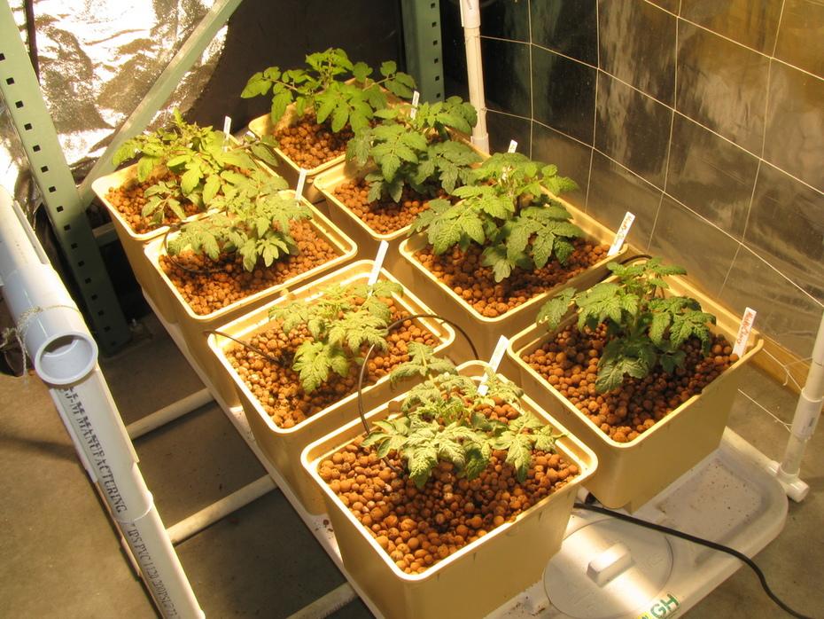Hydro-Organic Tomatoes