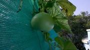 aquaponic food garden 005