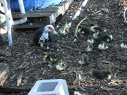 Baby Ducks of Duckaponics Fame