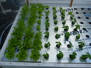 Home DWC Basil and Butterhead lettuce