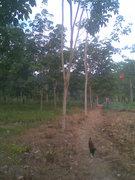 my rubber tree