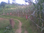 my corn farm