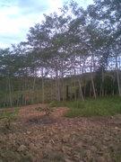 my sengon tree