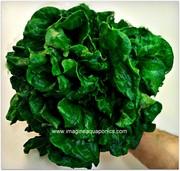 Harvest Day 47 - Green Lettuce